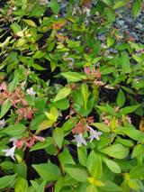 Abelia X Grandiflora Francis Mason Abelia Plant List Vibrant