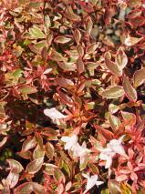 Abelia X Grandiflora Sunshine Daydream E Pvr Abelia Plant List